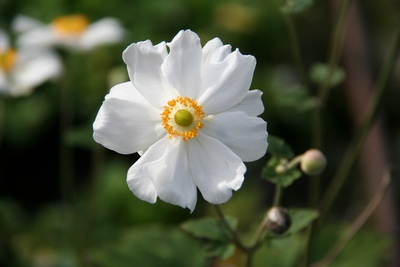 Anemone Hybrida 'coupe D Argent'