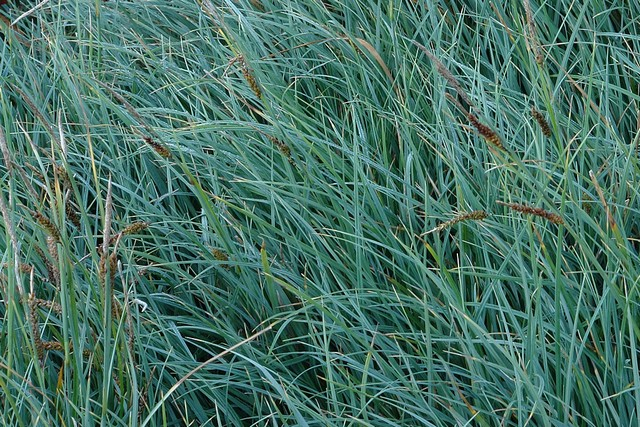 Carex Flacca 'buis'