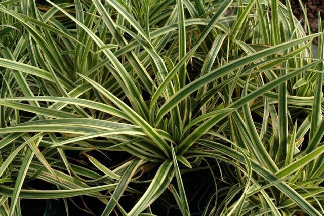 Carex Morrowii 'goldband'