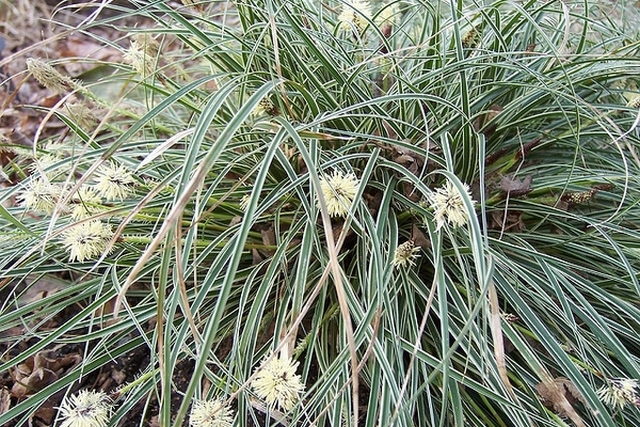 Carex Conica 'snow Line'