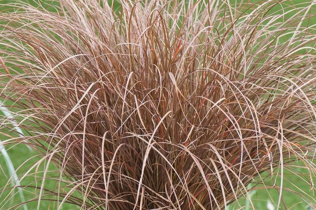 Carex Petriei 'milk Chocolate'