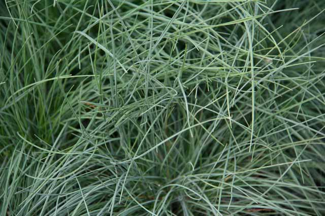 Festuca Glauca 'blue Select'