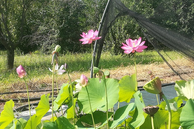 Nelumbo Nucifera 'rosea Plena' Mg